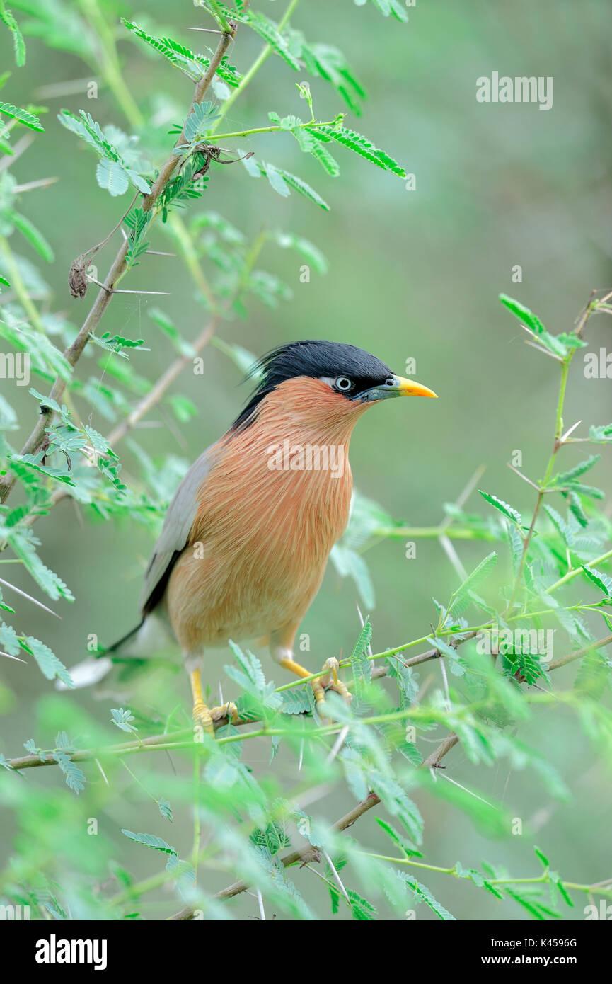 Brahminy Myna, Keoladeo Ghana national park, Rajasthan, India / (Sturnia pagodarum) | Pagodenstar, Keoladeo Ghana Nationalpark, Rajasthan, Indien - Stock Image