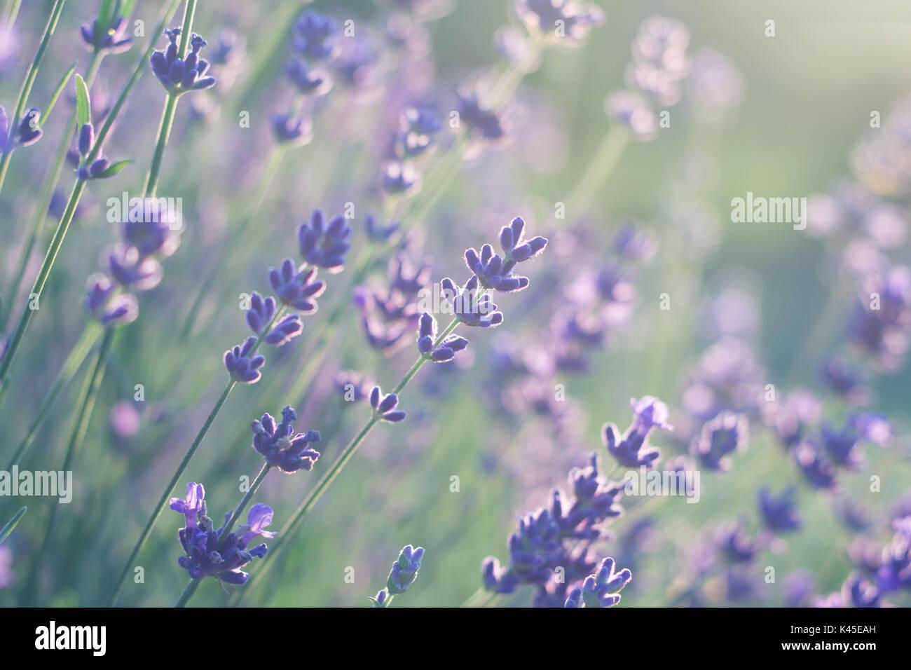 lavender in soft light - Stock Image