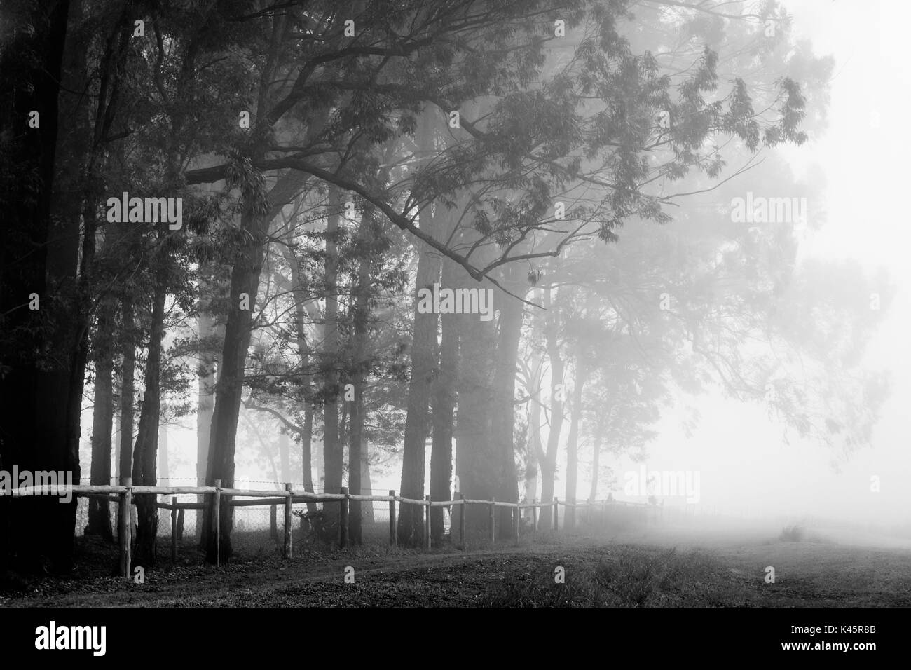 Trees, Kyber Pass, Karkloof Valley, KwaZulu Natal, Republic of South Africa. Giant Eucalyptus in the mist. - Stock Image