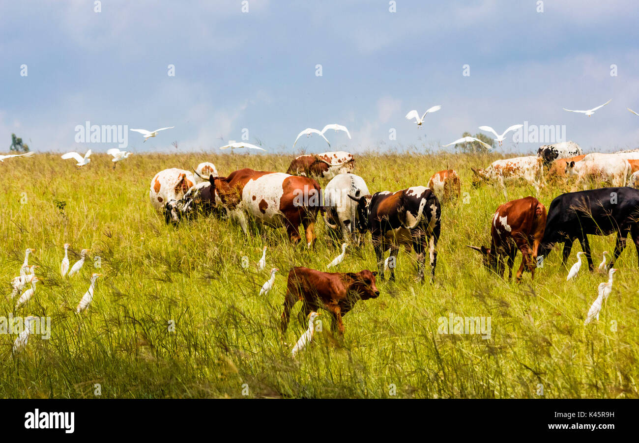 Cattle, Monaghan farm, Lanseria, Province of Gauteng, Republic of South Africa. Nguni cows and egret birds. - Stock Image