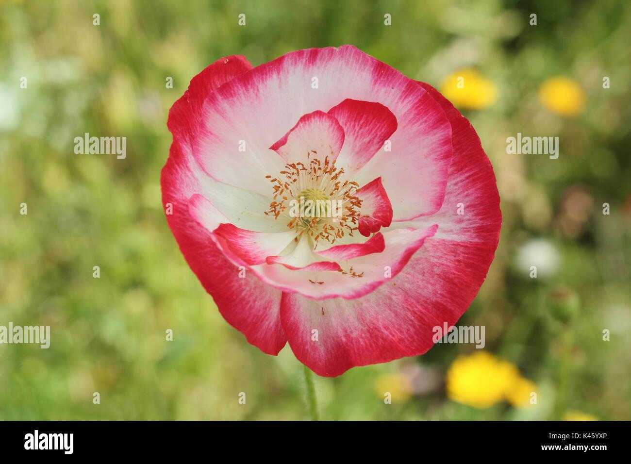 True Shirley Poppy (Papaver rhoeas) blooming in an English pictorial meadow alongside Bishop's Flower (ammi majus in summer (July), UK Stock Photo