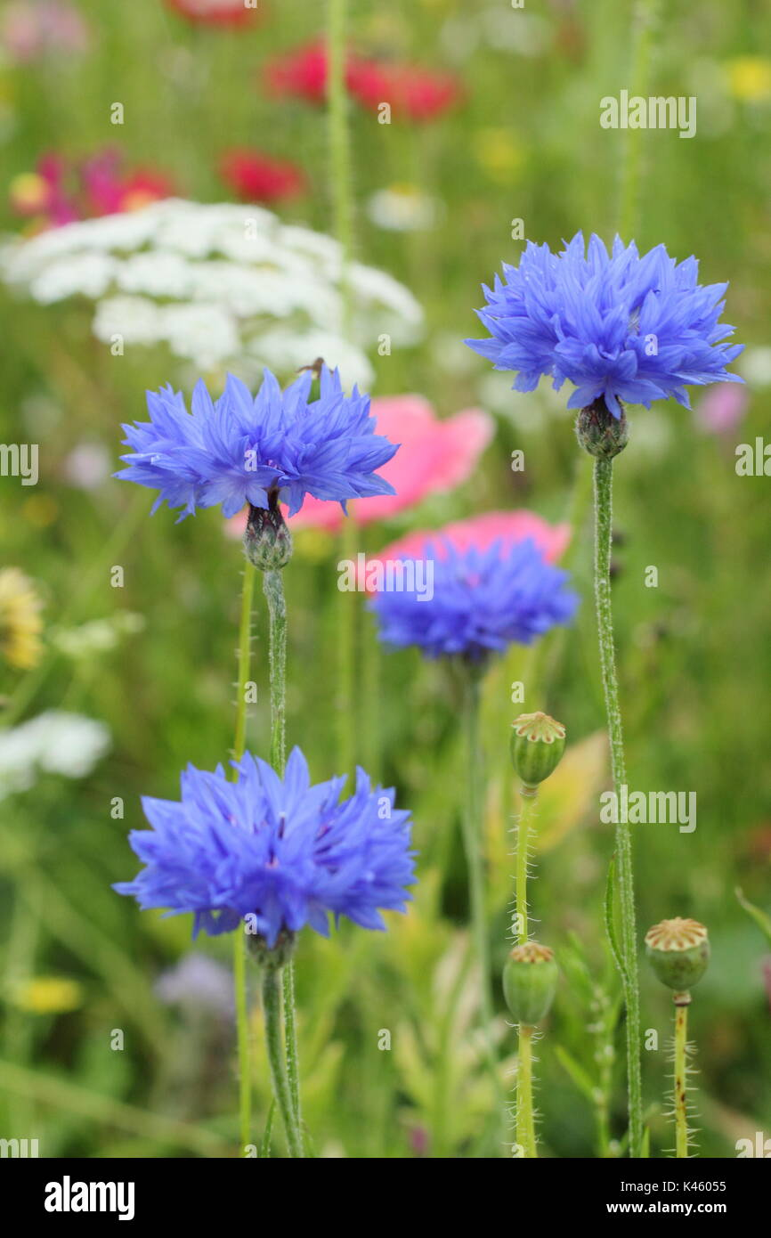Blue cornflowers (Centaurea cyanus), Bishop's Flower (ammi majus) and Shirley poppies (papaver rhoeas) in an English sown meadow in summer (July), UK Stock Photo
