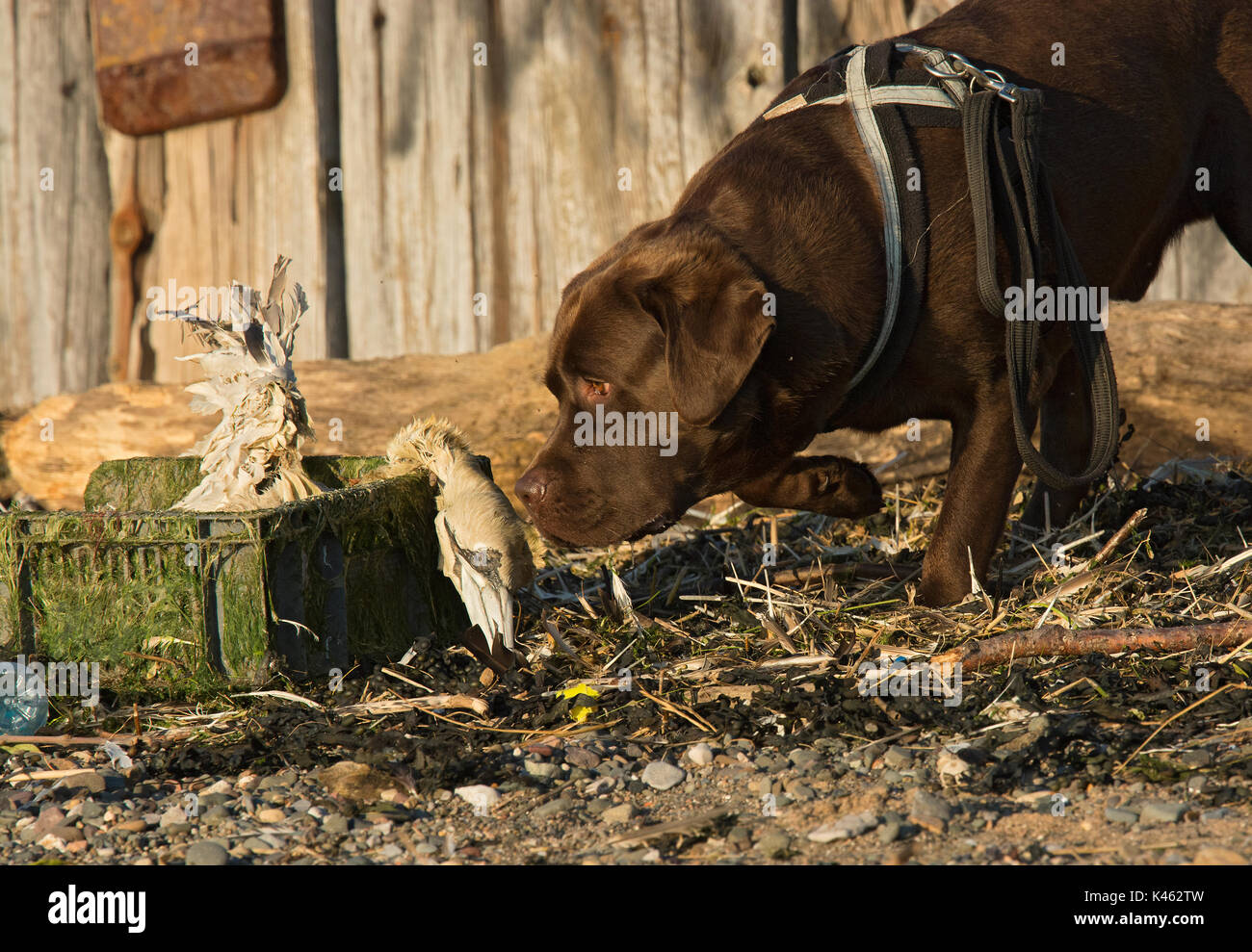 Dog inspecting a dead Gannet, Morus bassanus, washed up on beach in plastic crate, Lancashire, UK - Stock Image