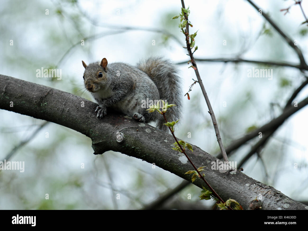 An Eastern gray squirrel (Sciurus carolinensis) resting on a limb of a budding maple tree in spring Stock Photo