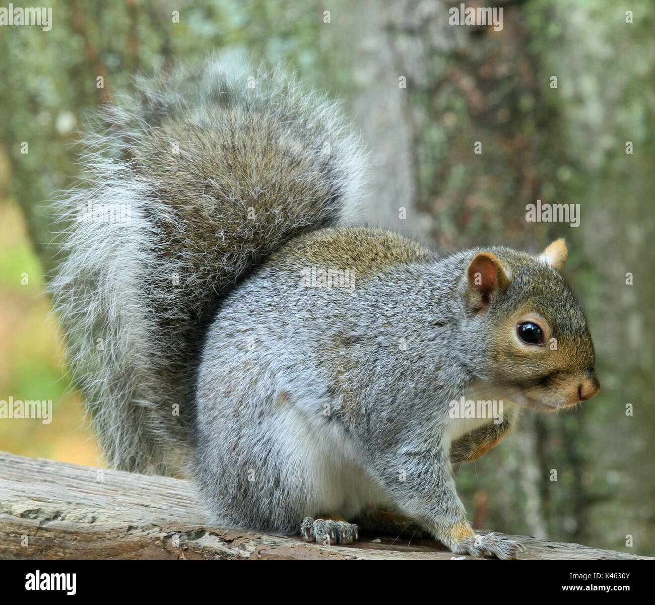Close-up of a chubby Eastern gray squirrel (Sciurus carolinensis) sitting on a wooden deck railing Stock Photo