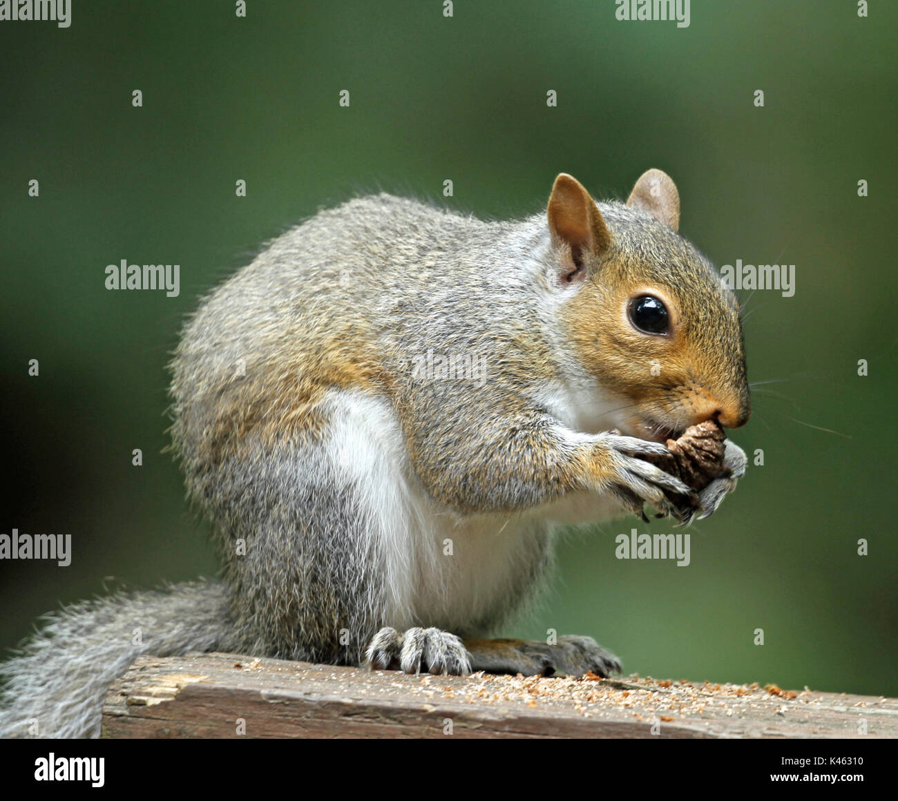 Close-up of a chubby Eastern gray squirrel (Sciurus carolinensis) clutching some tree bark in its paws while sitting on a wooden railing - Stock Image