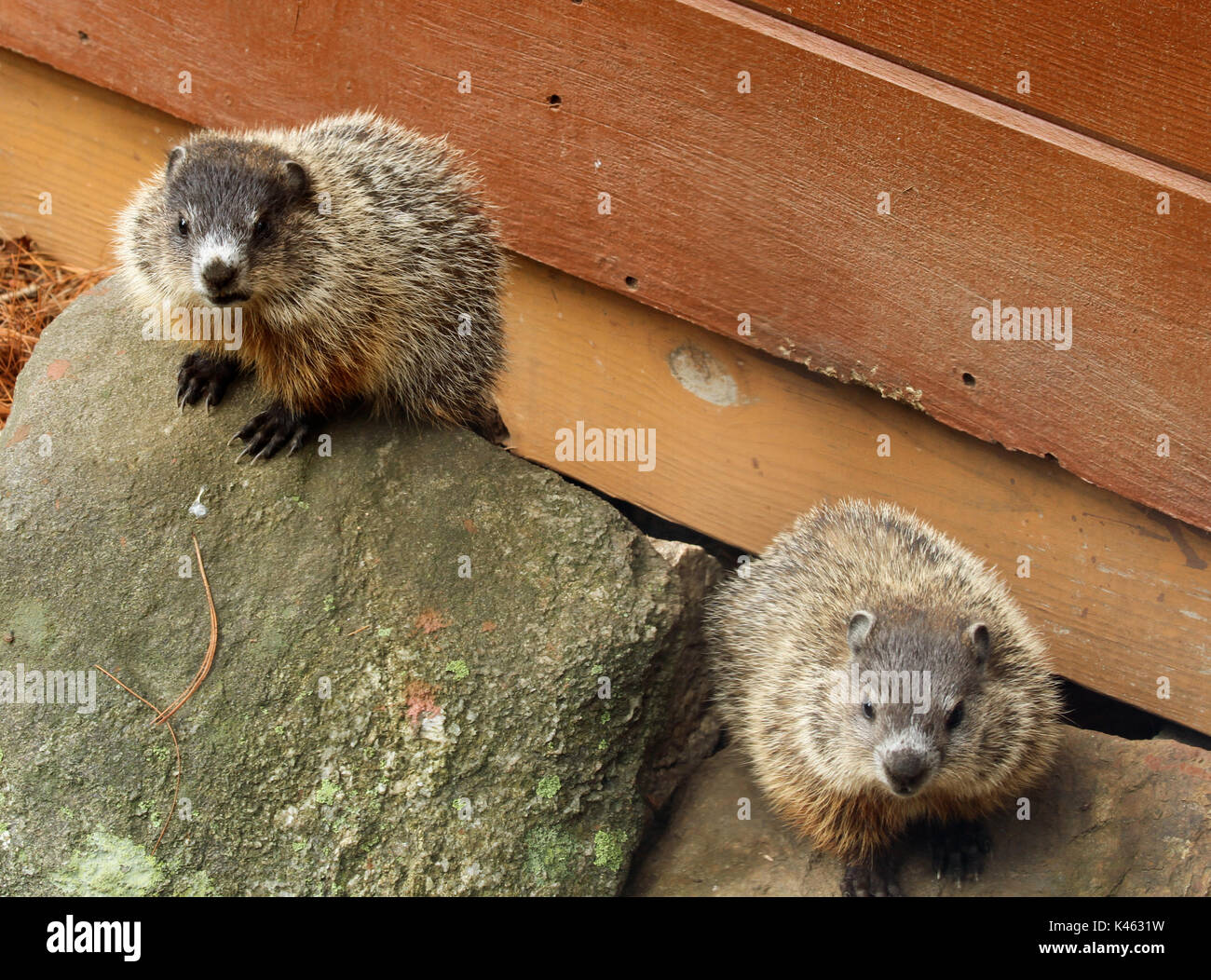 A pair of juvenile groundhogs (Marmota monax) outside their underground burrow beneath a backyard shed in late Spring - Stock Image