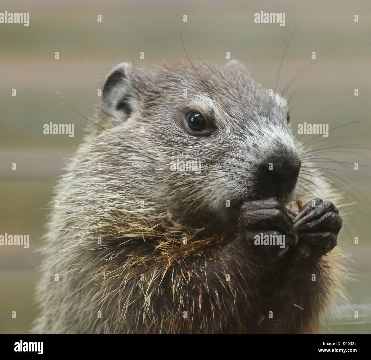 Close-up of an upright juvenile groundhog (Marmota monax) in summer eating a nut clutched in its paws - Stock Image