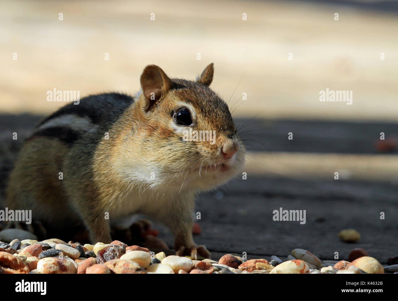 Close-up of Eastern chipmunk (Tamias striatus) stuffing its cheeks in early Spring Stock Photo