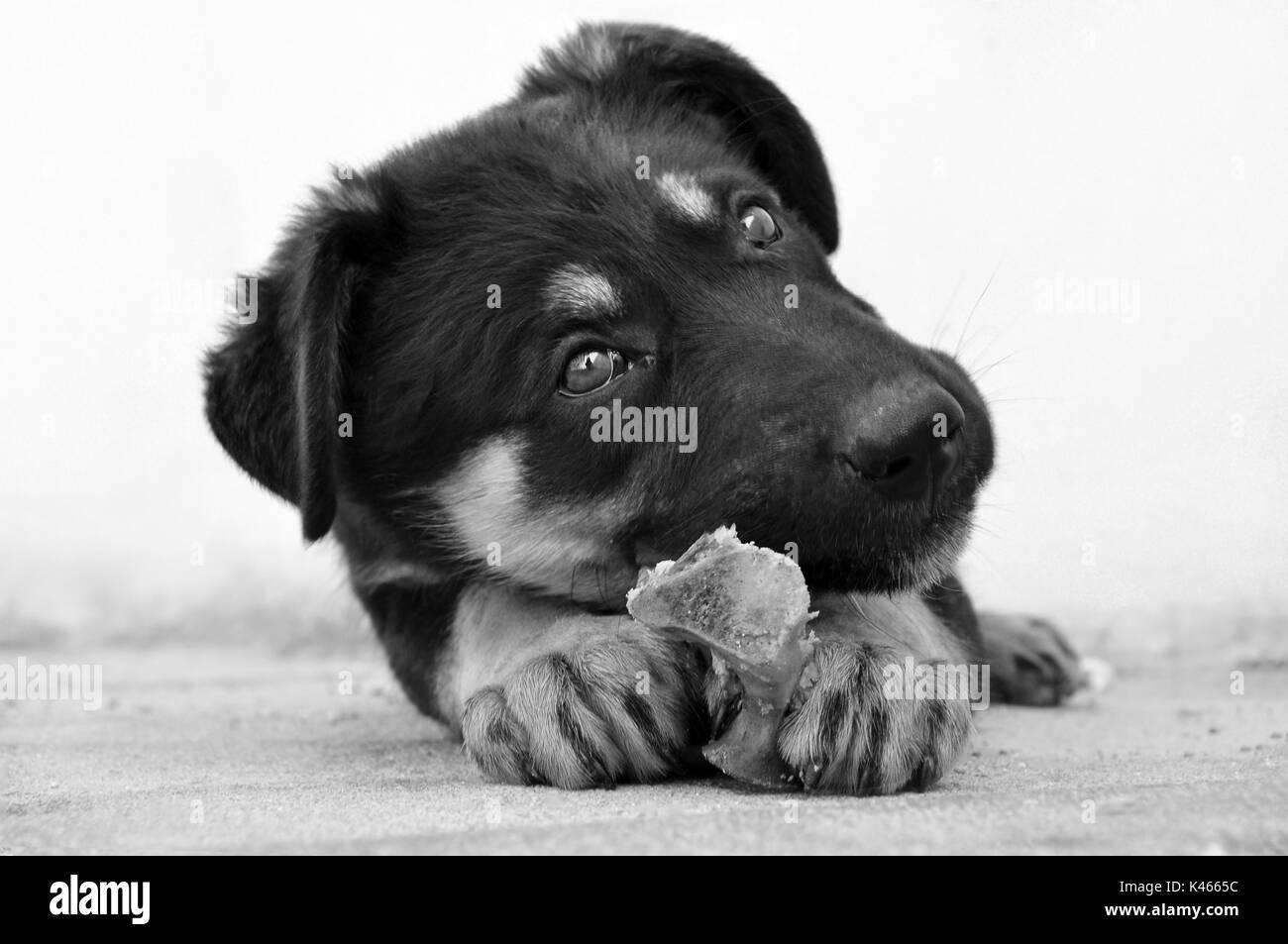 German Shepherd Dog Dangerous Stock Photos & German Shepherd Dog ...