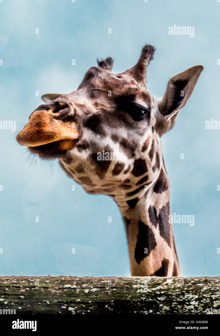 Head of a giraffe - Close view of a curious giraffe  (Giraffa camelopardalis) - Stock Image