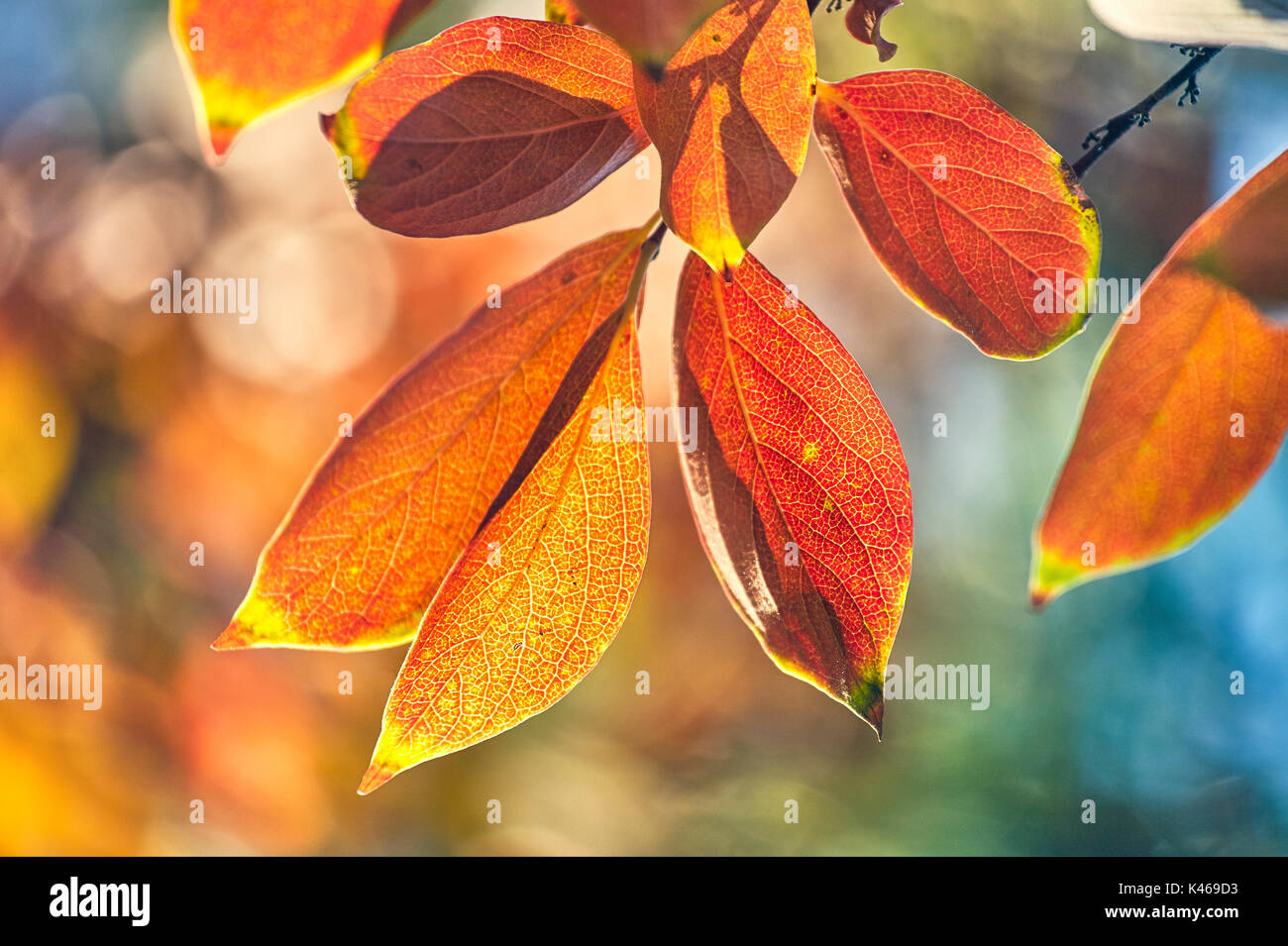 Diospyros kaki sylvestris in autumn at The Royal Botanical Garden. Madrid. Community of Madrid. Spain Stock Photo