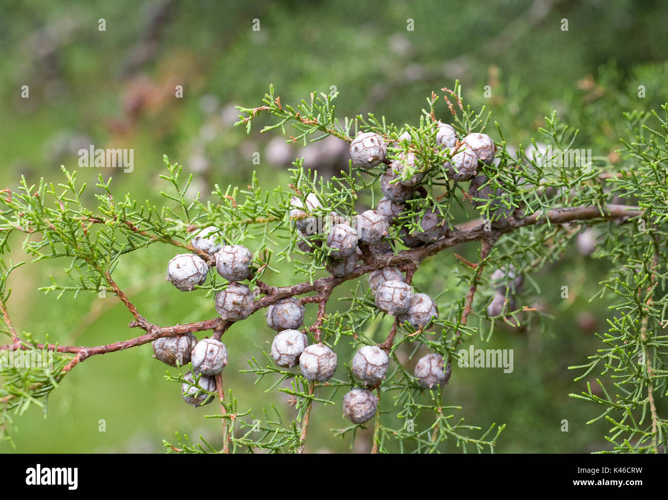 Seed cones on Cupressus guadalupensis var forbesii. - Stock Image