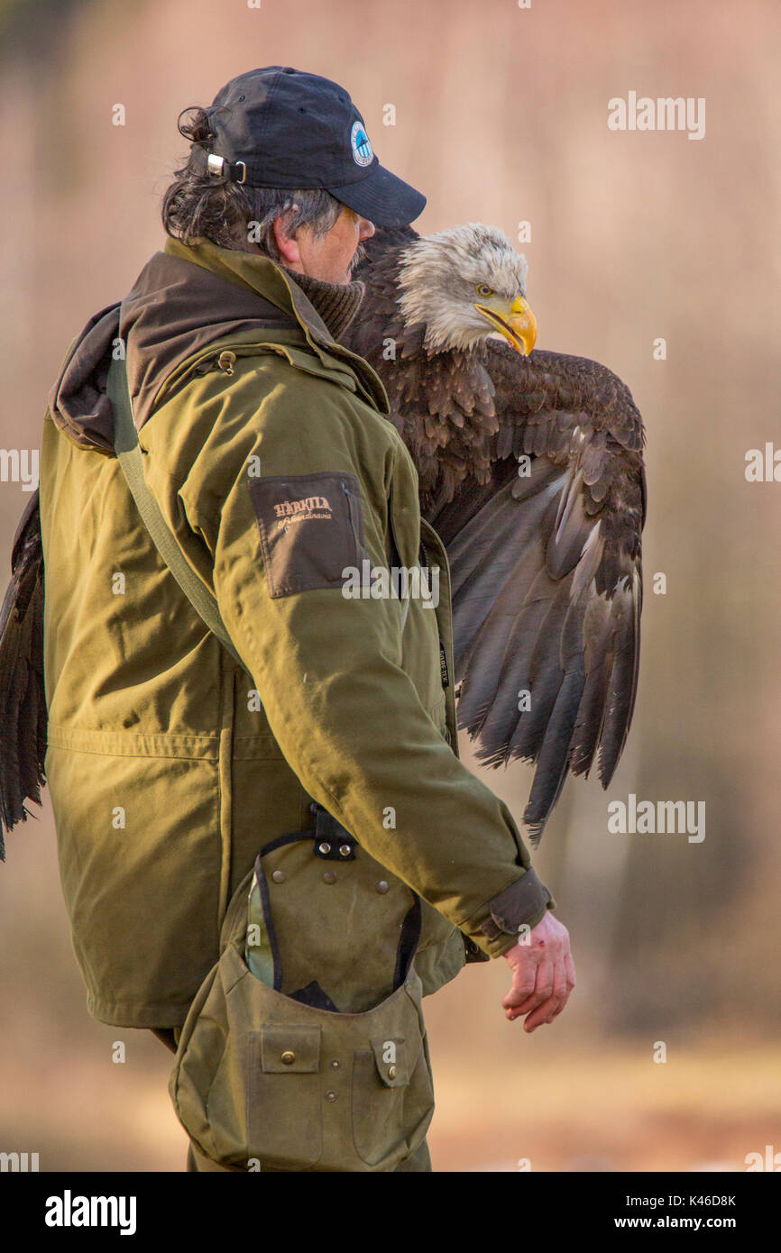 Bald Eagle - Haliaeetus leucocephalus with its handler Stock Photo