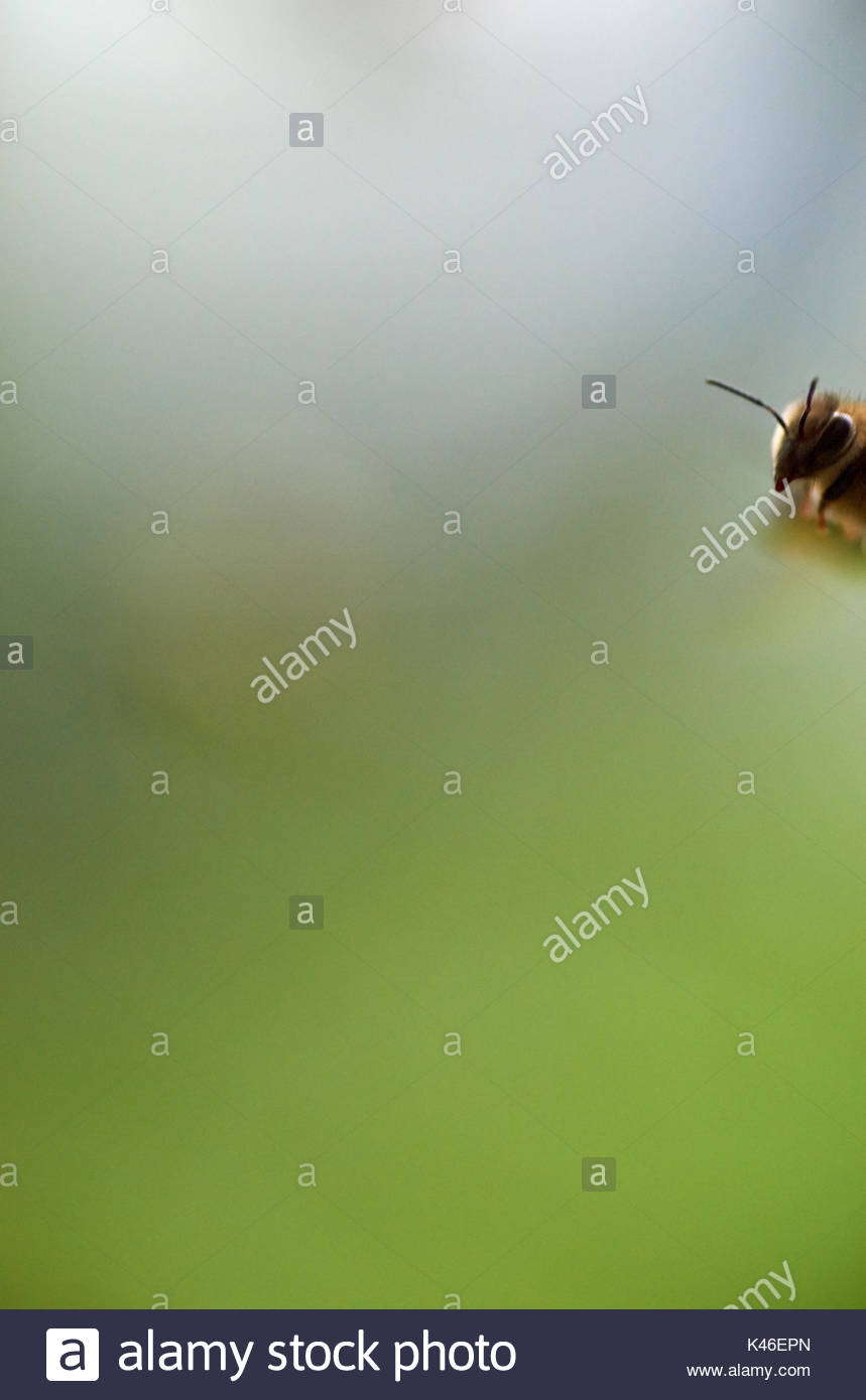 A worker honeybee, captured entering the image-frame in mid-flight, whilst returning to the hive. Ample copy space with a blurry green background. - Stock Image