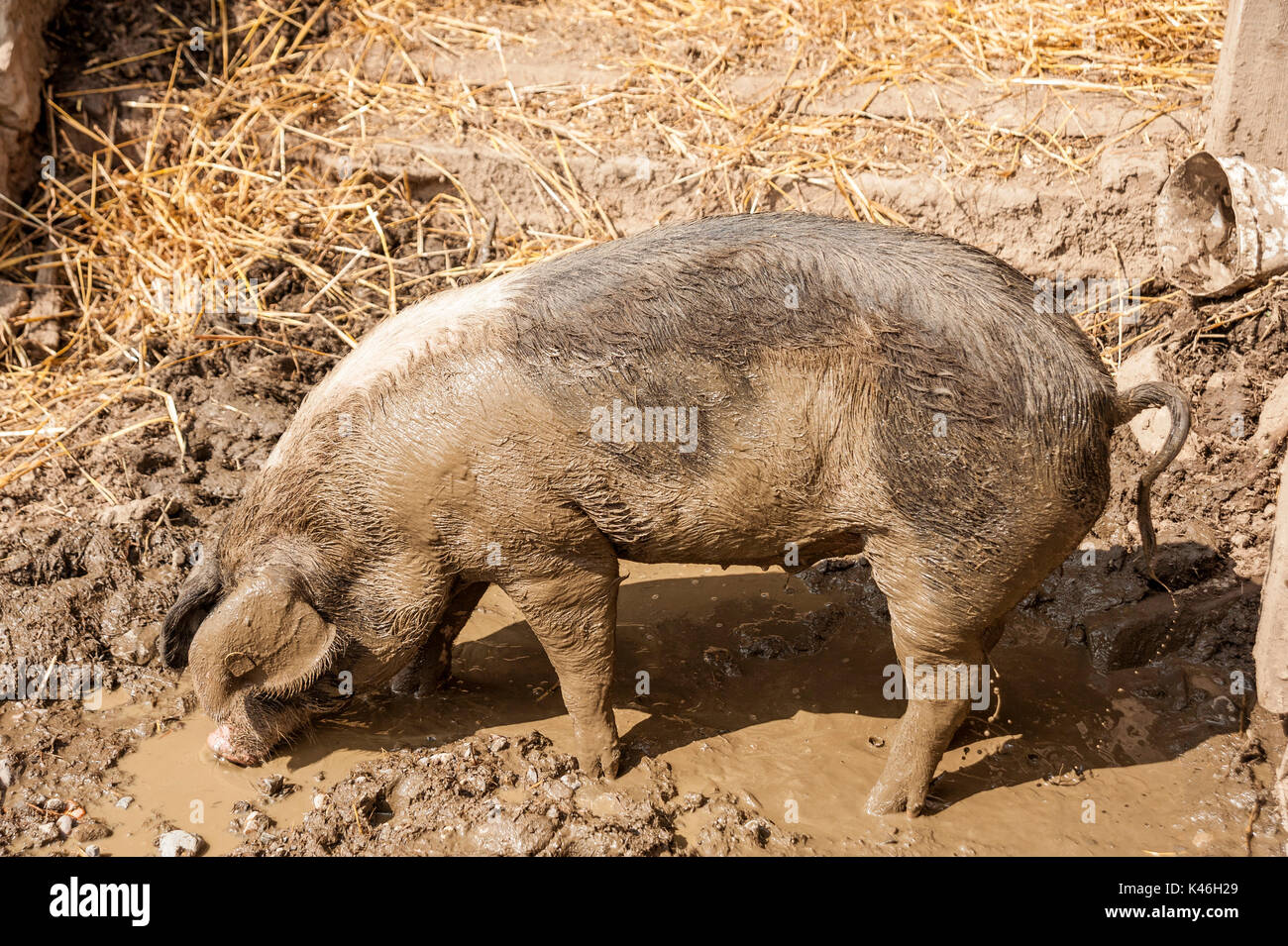 Dirty Pig - species-appropriate husbandry - Stock Image