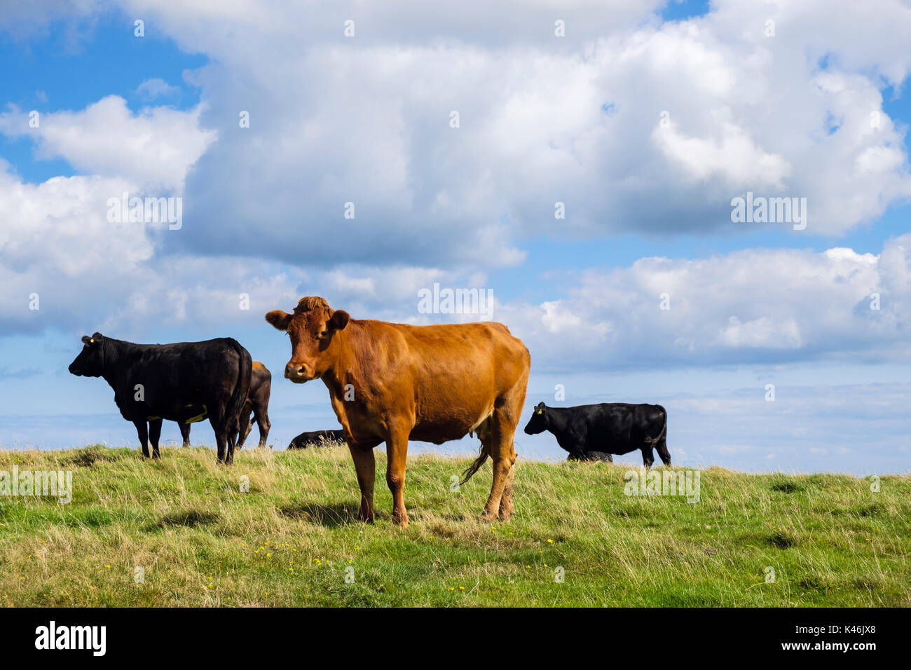 Herd of black and brown free-range dairy cows in a field in late summer. Isle of Anglesey, Wales, UK, Britain - Stock Image