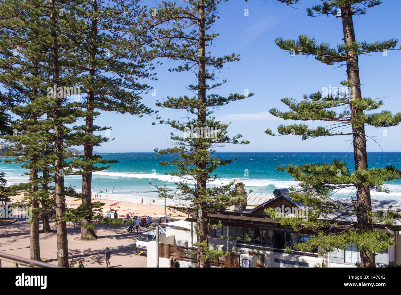 Date palm in Sydney