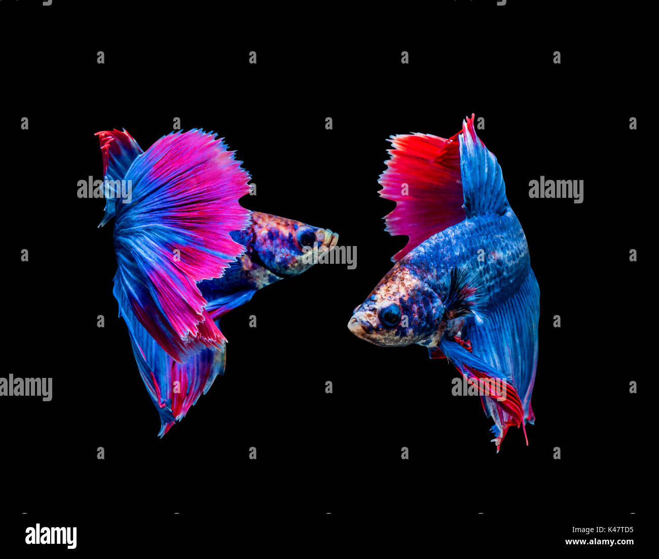 Betta splendens, siamese fighting fish isolated on black background - Stock Image