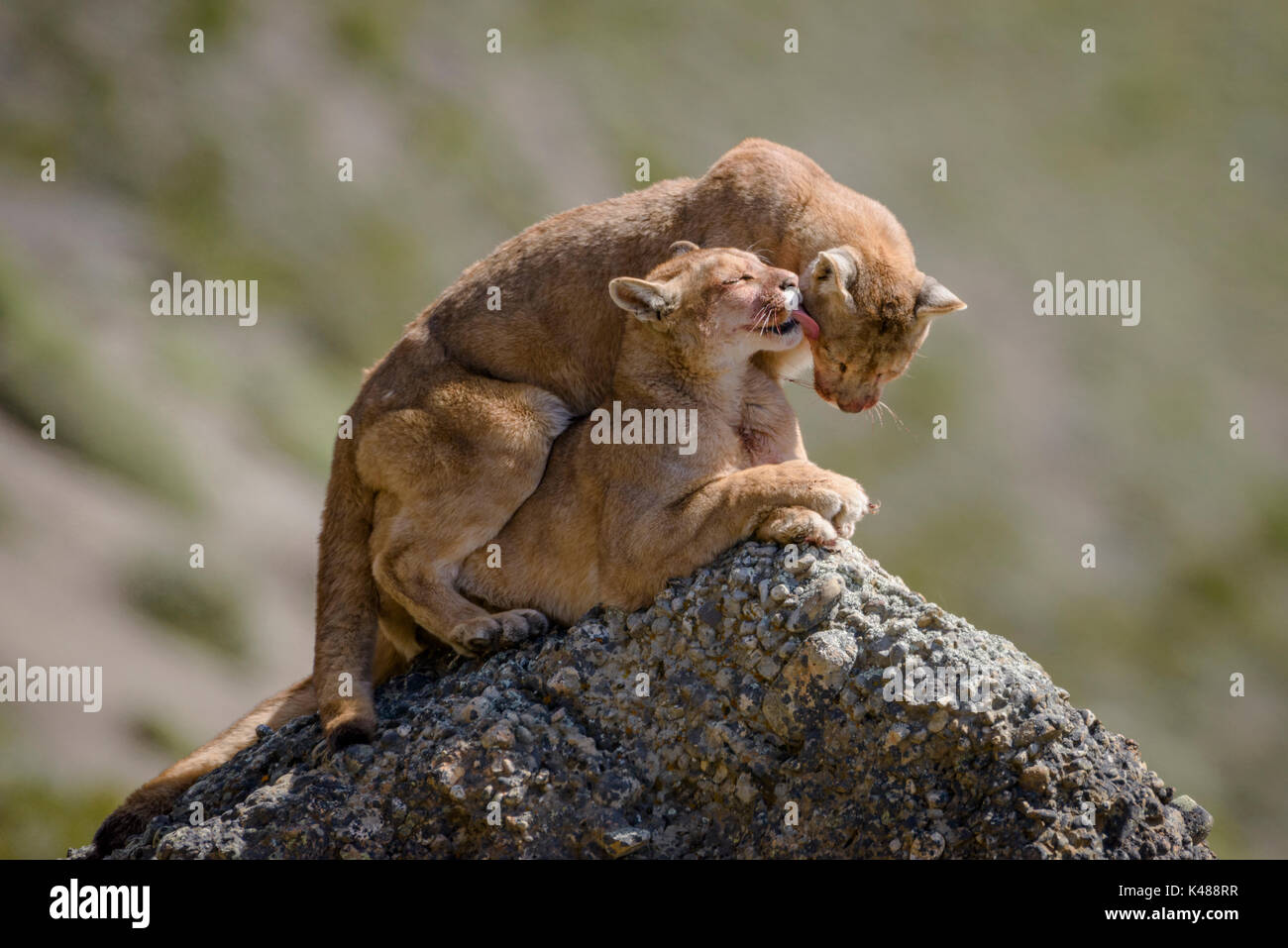 Wild Pumas (Puma concolor) from Torres del Paine, Chile - Stock Image