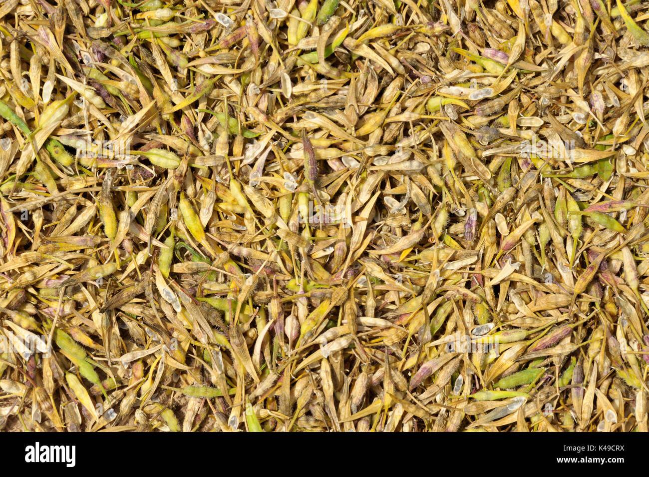 Seed saving, Yellow Mustard seed pod harvest drying also called White Mustard, Sinapis Alba, Brassica Alba or Brassica Hirta. - Stock Image