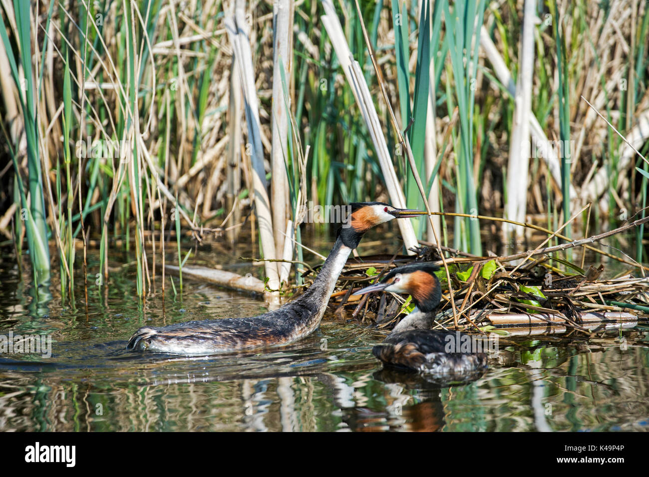 Couple Of Great Crested Grebes Podiceps Cristatus Building A Nest - Stock Image