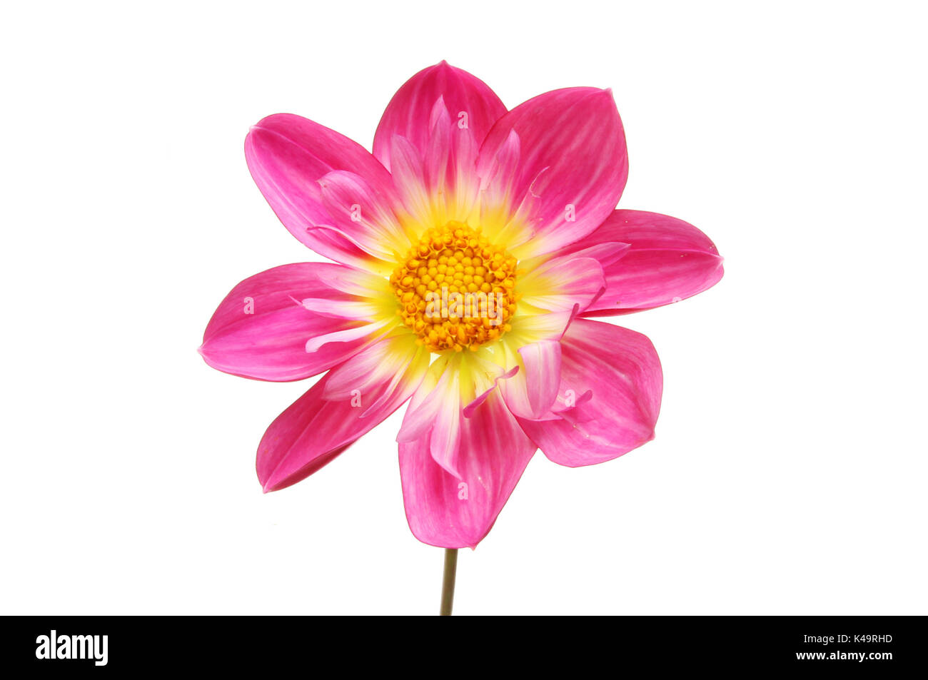 Magenta and yellow dahlia flower isolated against white - Stock Image