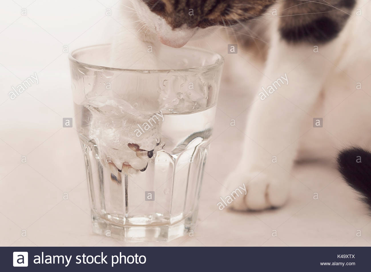 Curious cat uses paw to drink water from a glass - Stock Image