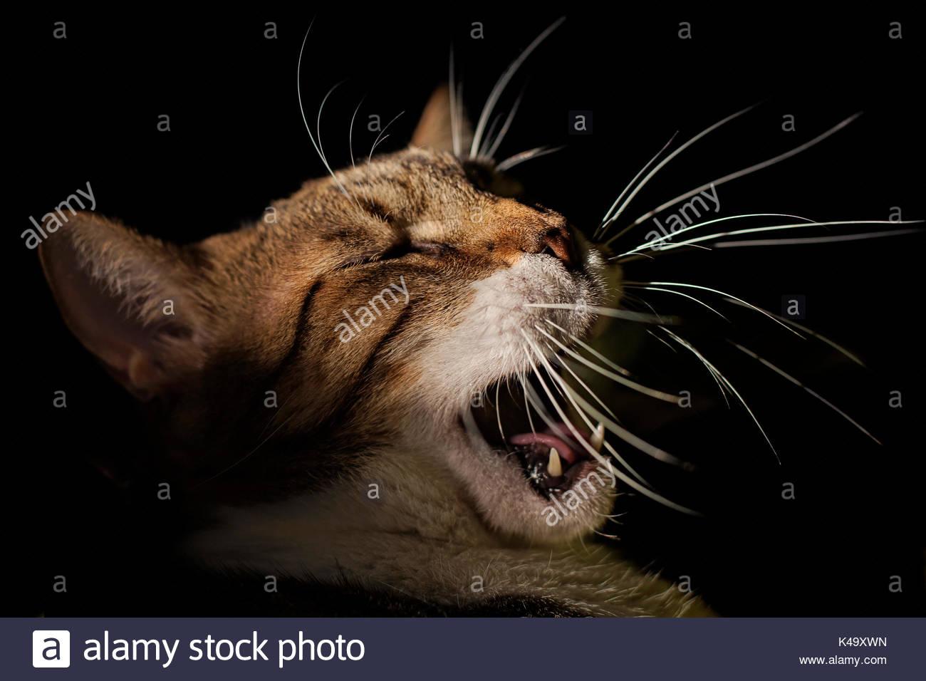 Roaring Cat - Stock Image