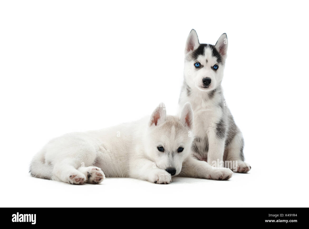 Small puppies siberian husky dogs resting after activity. - Stock Image