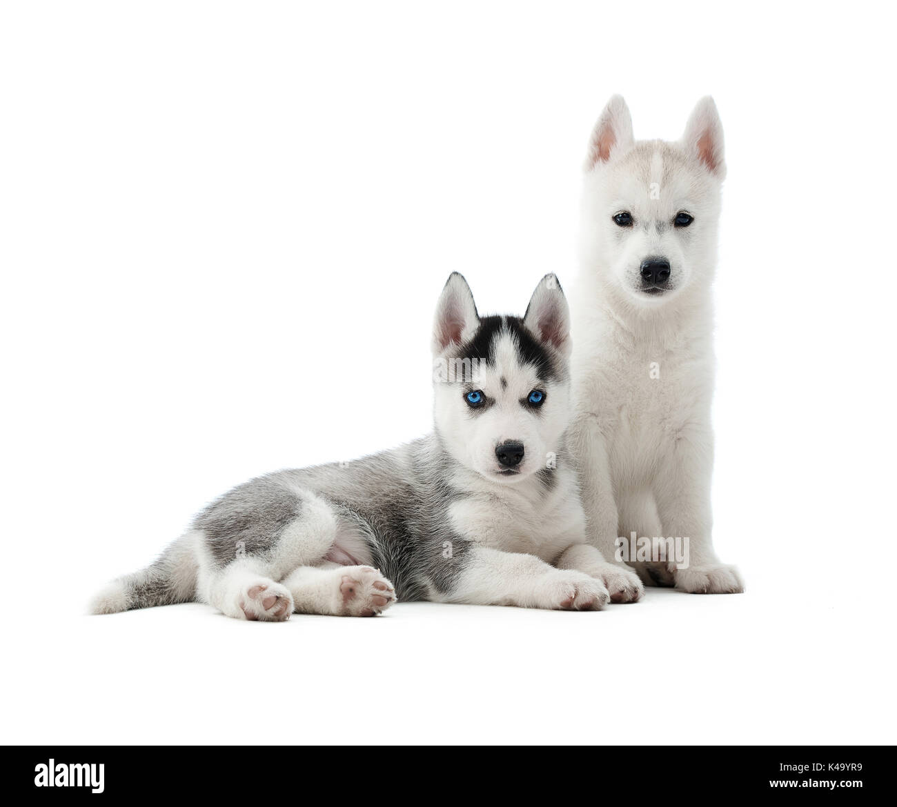 Husky puppies like wolf with gray and white color of fur. - Stock Image