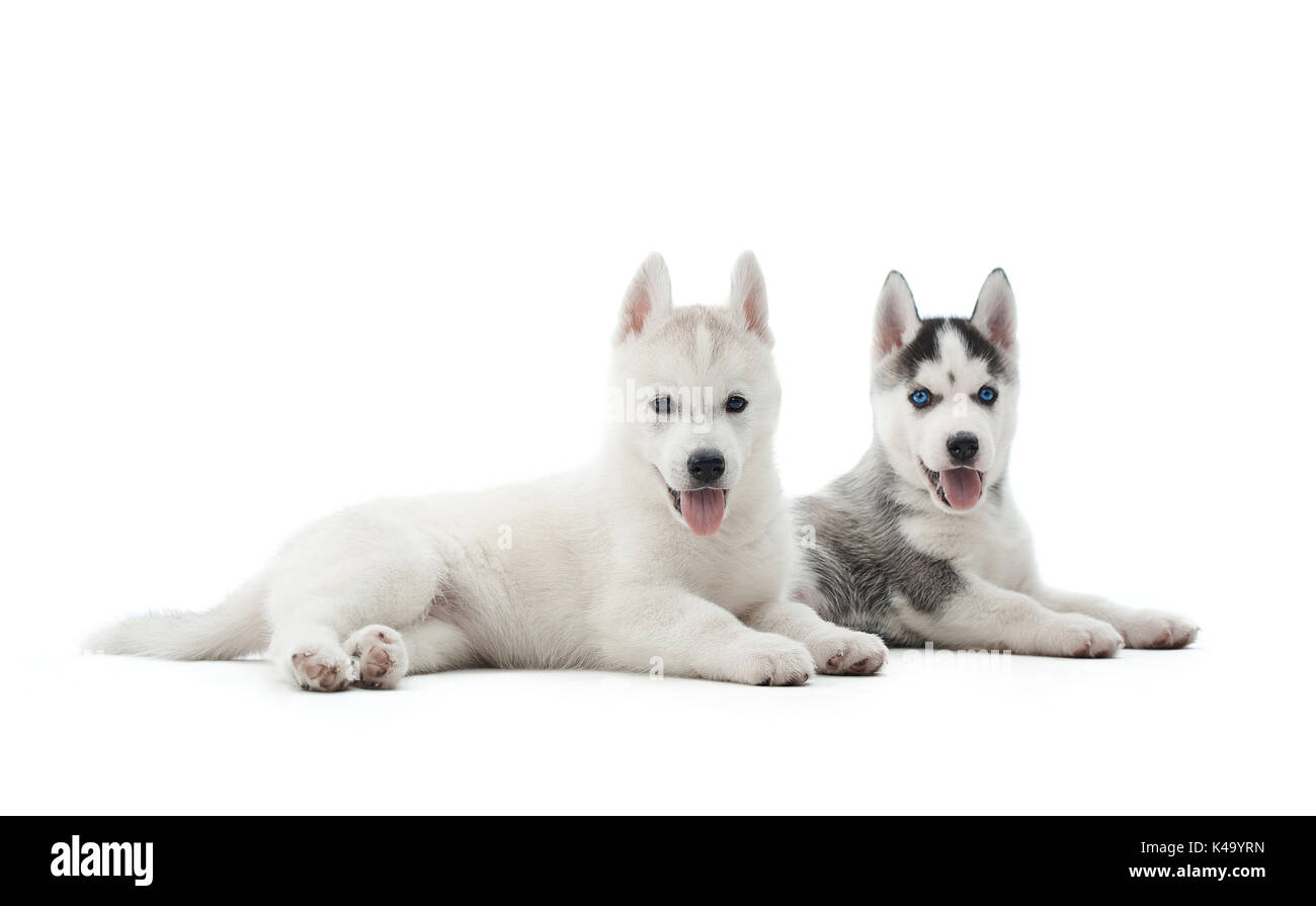 Two puppies of siberian husky resting on floor after activity. - Stock Image