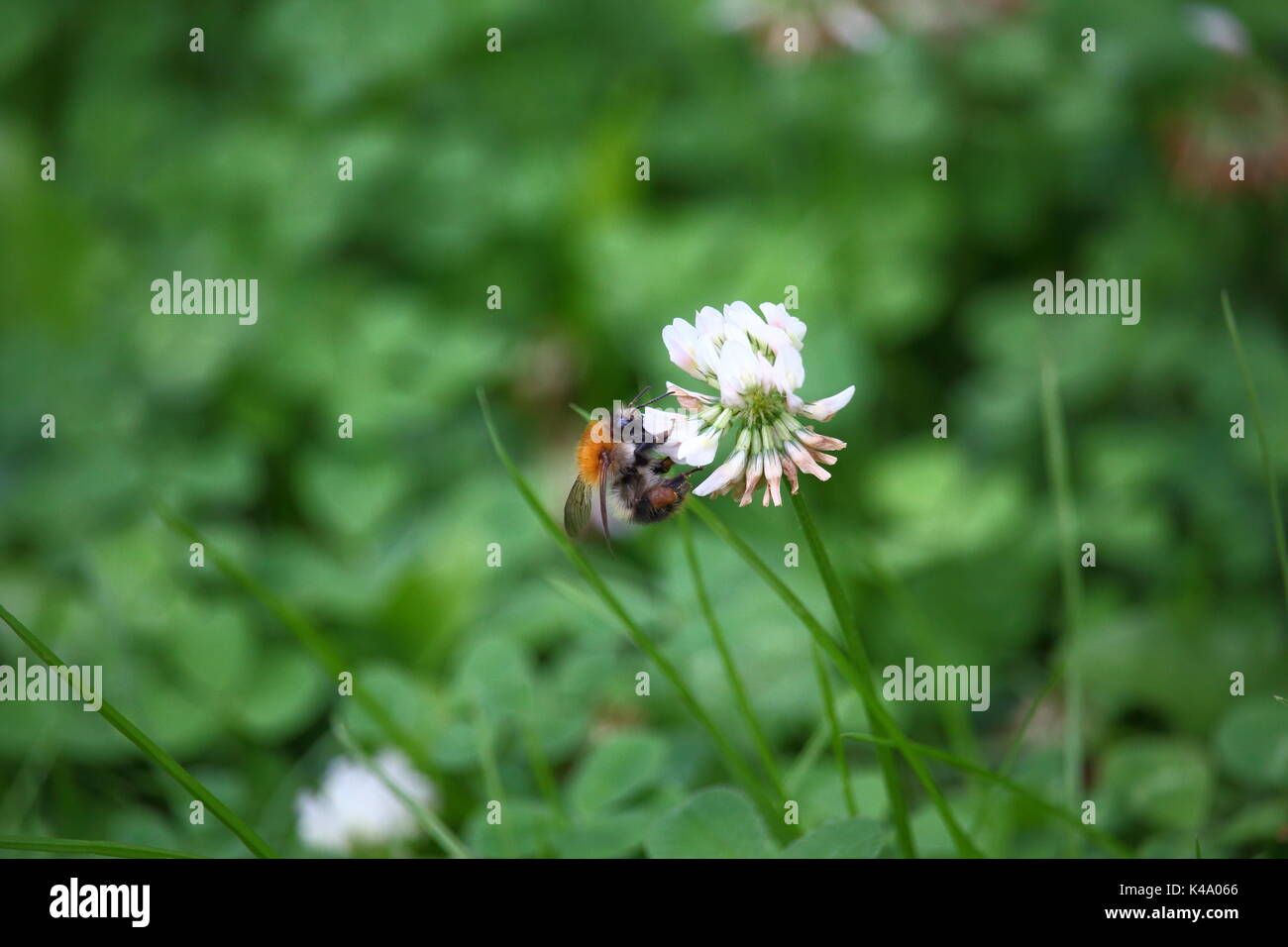 Hummel die Nektar sammelt und gleichzeitig Blüten bestäubt - Stock Image