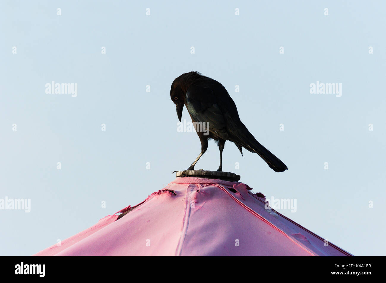 Raven bird black is a black Raven bird standing looking contemplative and serious. - Stock Image