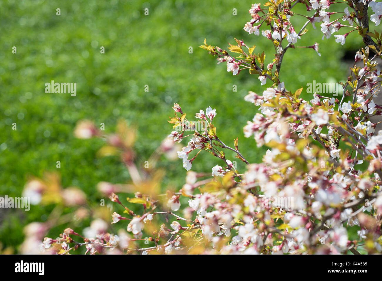 Blossoming Trees In Spring In The Garden Stock Photo 157575605 Alamy