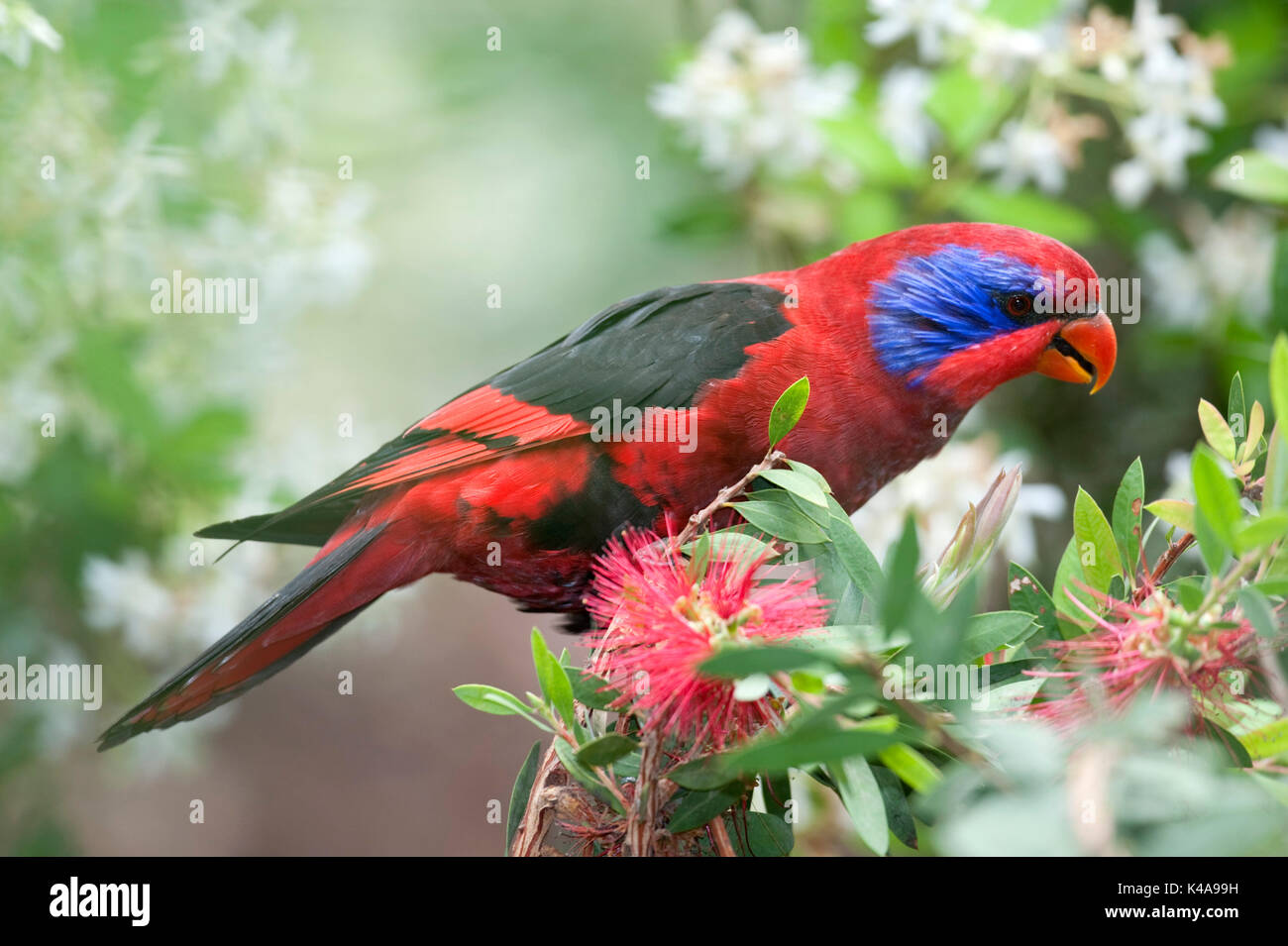 Black-winged Lory, Eos cyanogenia, feeding, Captive,  endemic to Indonesia,  Vulnerable, IUCN Red List of Threatened Species. It is listed on Appendix - Stock Image