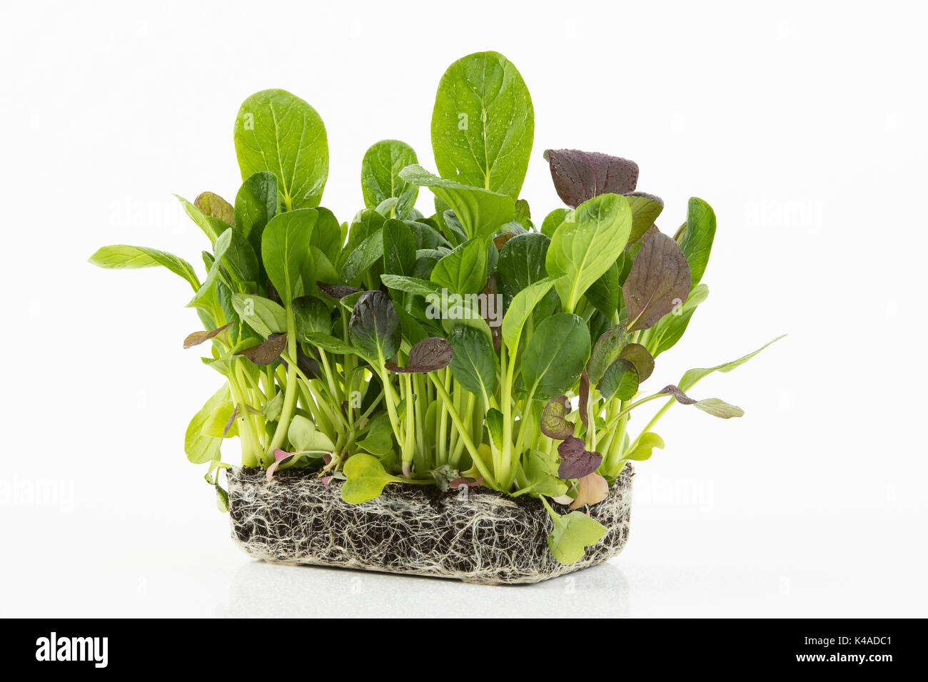 Superfood Japanese Spinach - Stock Image