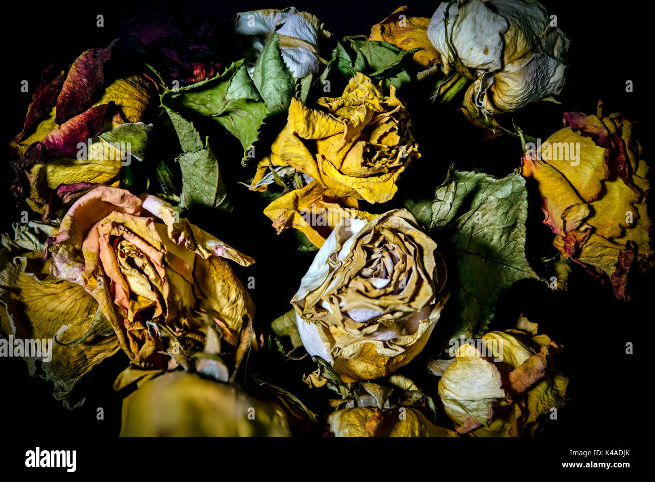 Withered Roses - Stock Image
