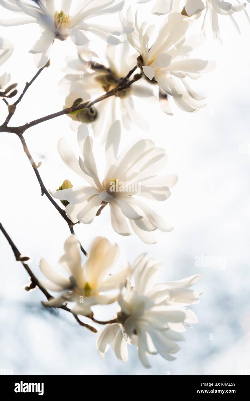 Magnolia blossom, magnolia (Magnolia sp.), Baden-Württemberg, Germany - Stock Image