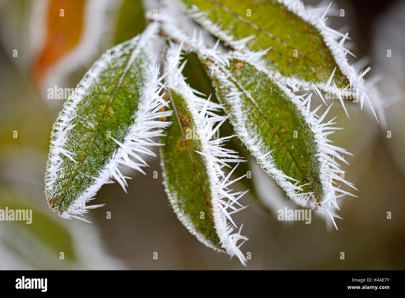 Hoarfrost On Leaves - Stock Image