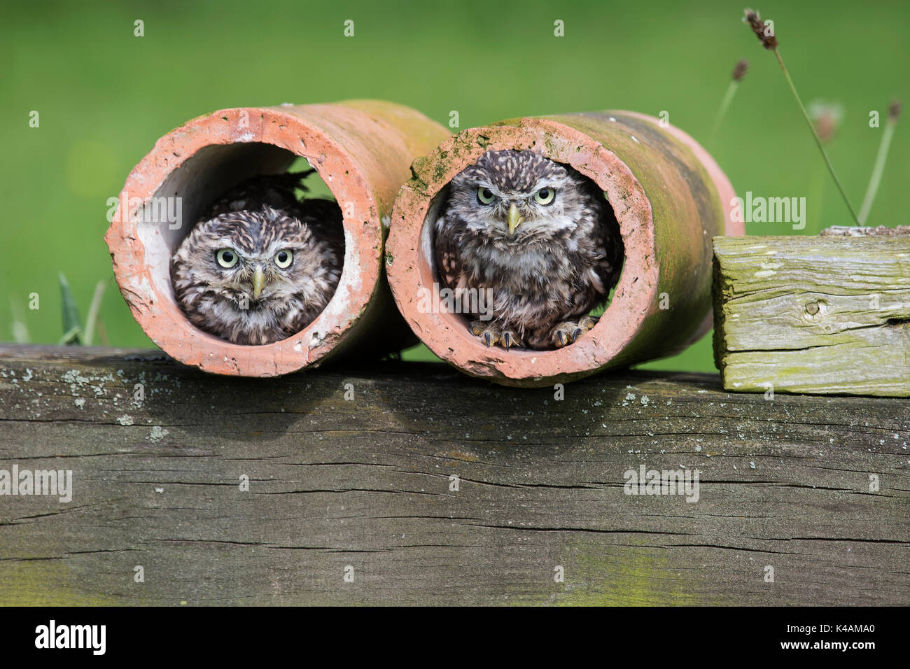 A pair of Little Owls Athene noctua in clay drainpipes under controlled conditions - Stock Image