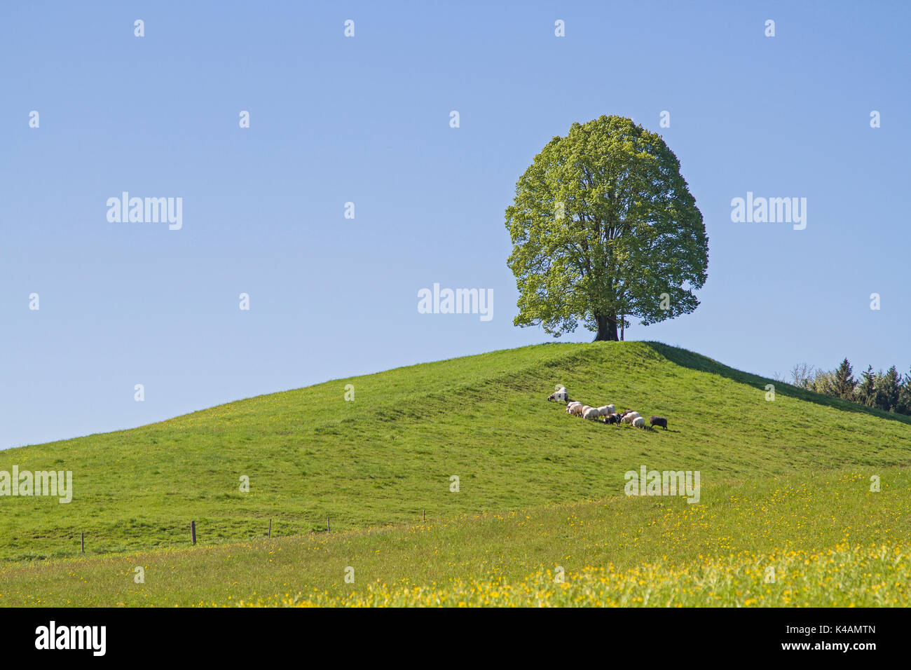 Individually Standing Deciduous Tree On The Moraine Hills Of Veiglberges Amid The Beautiful Foothills Of The Alps - Stock Image