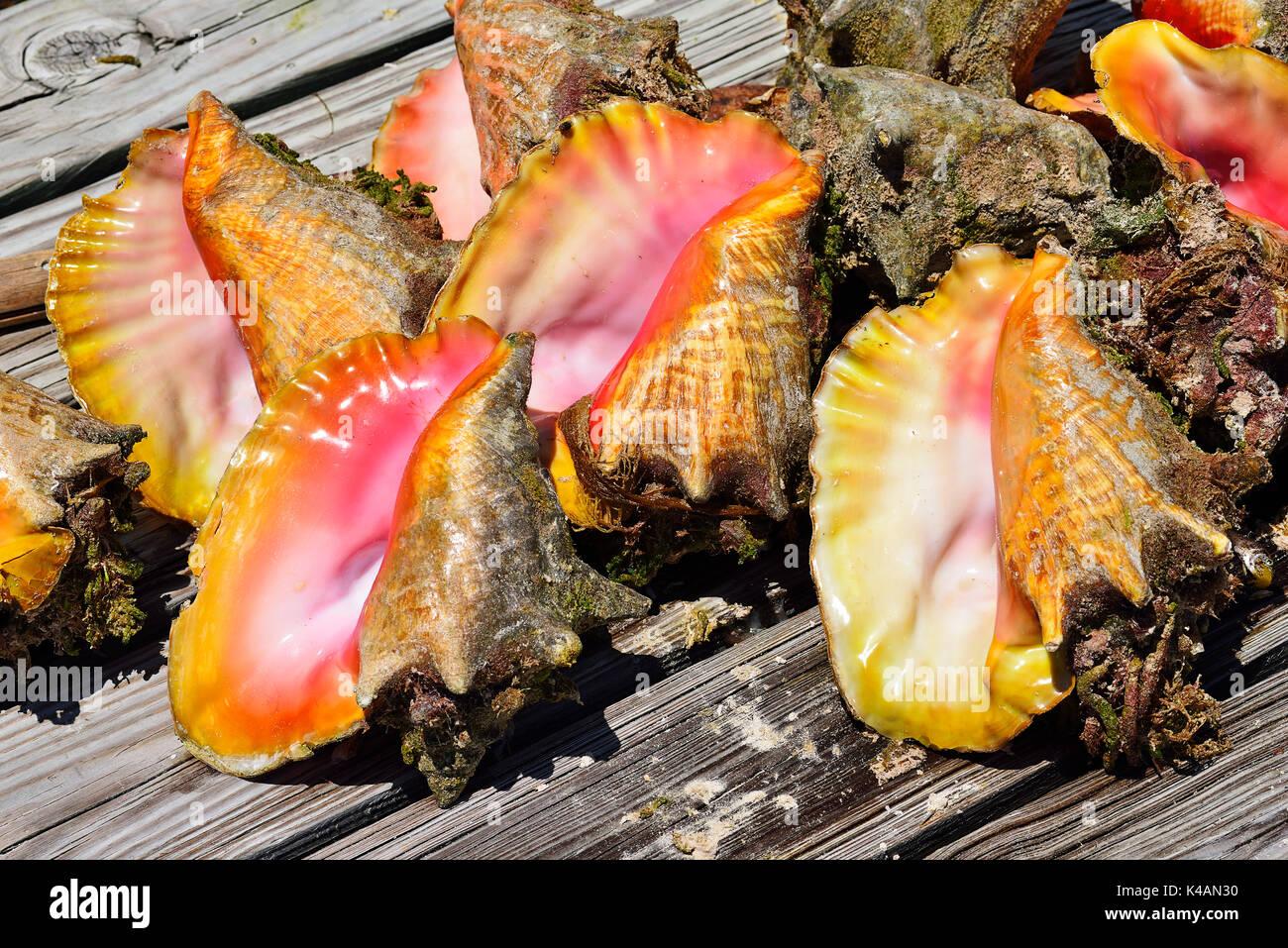 Strombus, Guana Cay, Abacos Islands, Bahamas - Stock Image