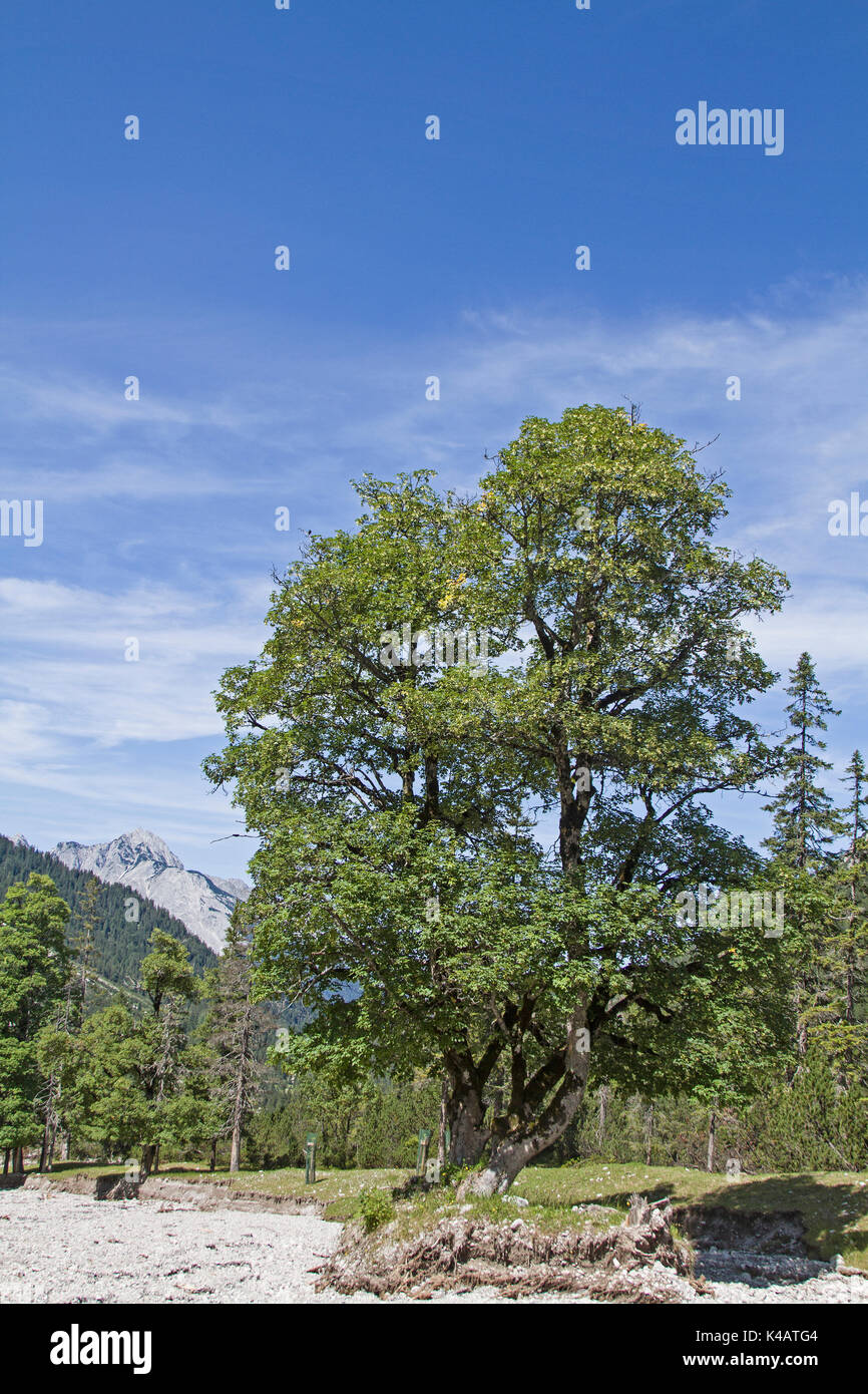 Mighty Maple Tree In Eppzirler Valley - Stock Image