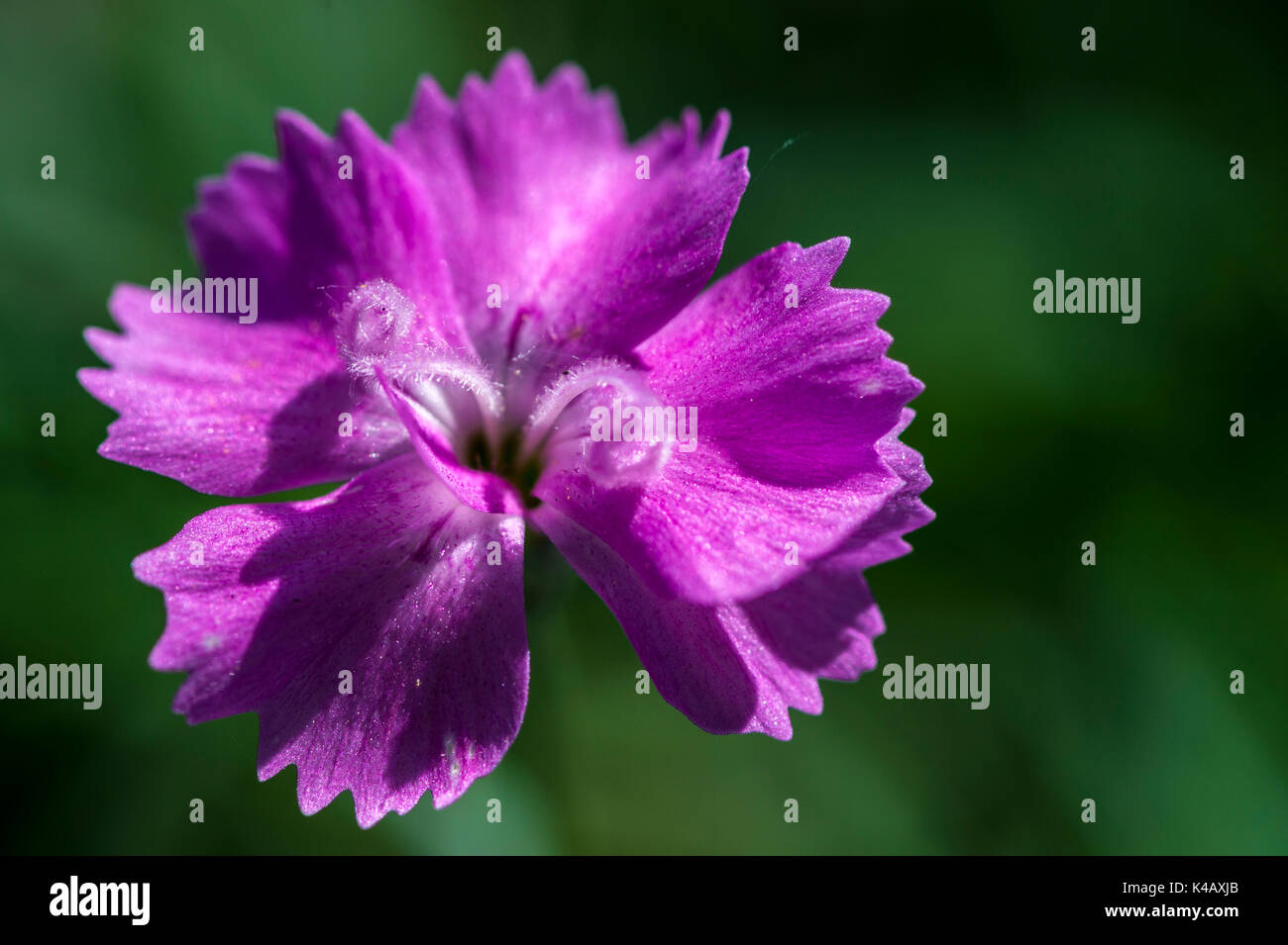 Pink-Colored Feather-Carnation Dianthus Plumarius - Stock Image
