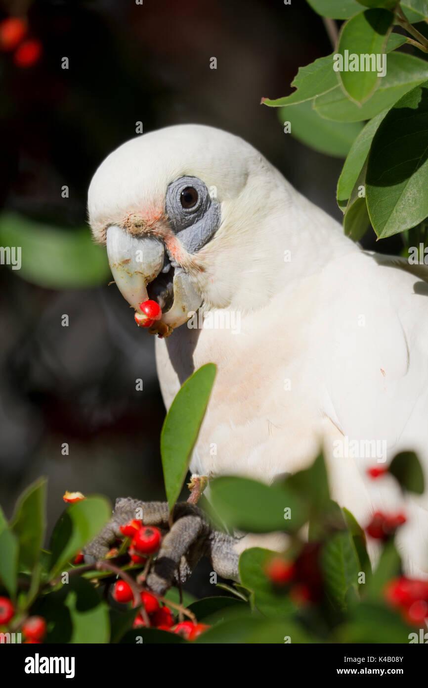 Australia Birds - Stock Image
