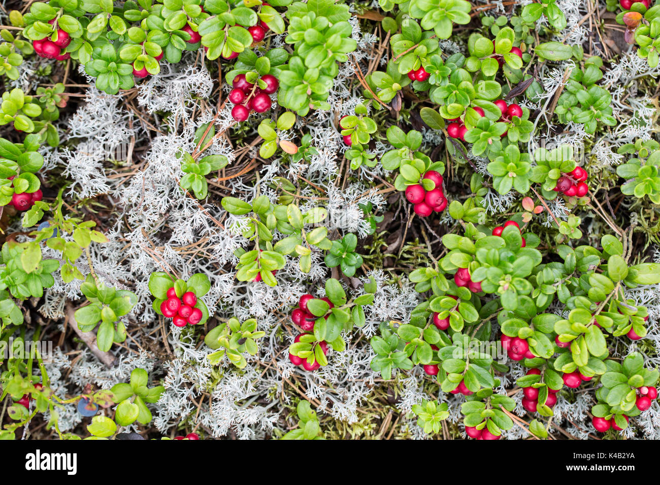 Scandinavian Forest Soil With Lingonberry - Stock Image