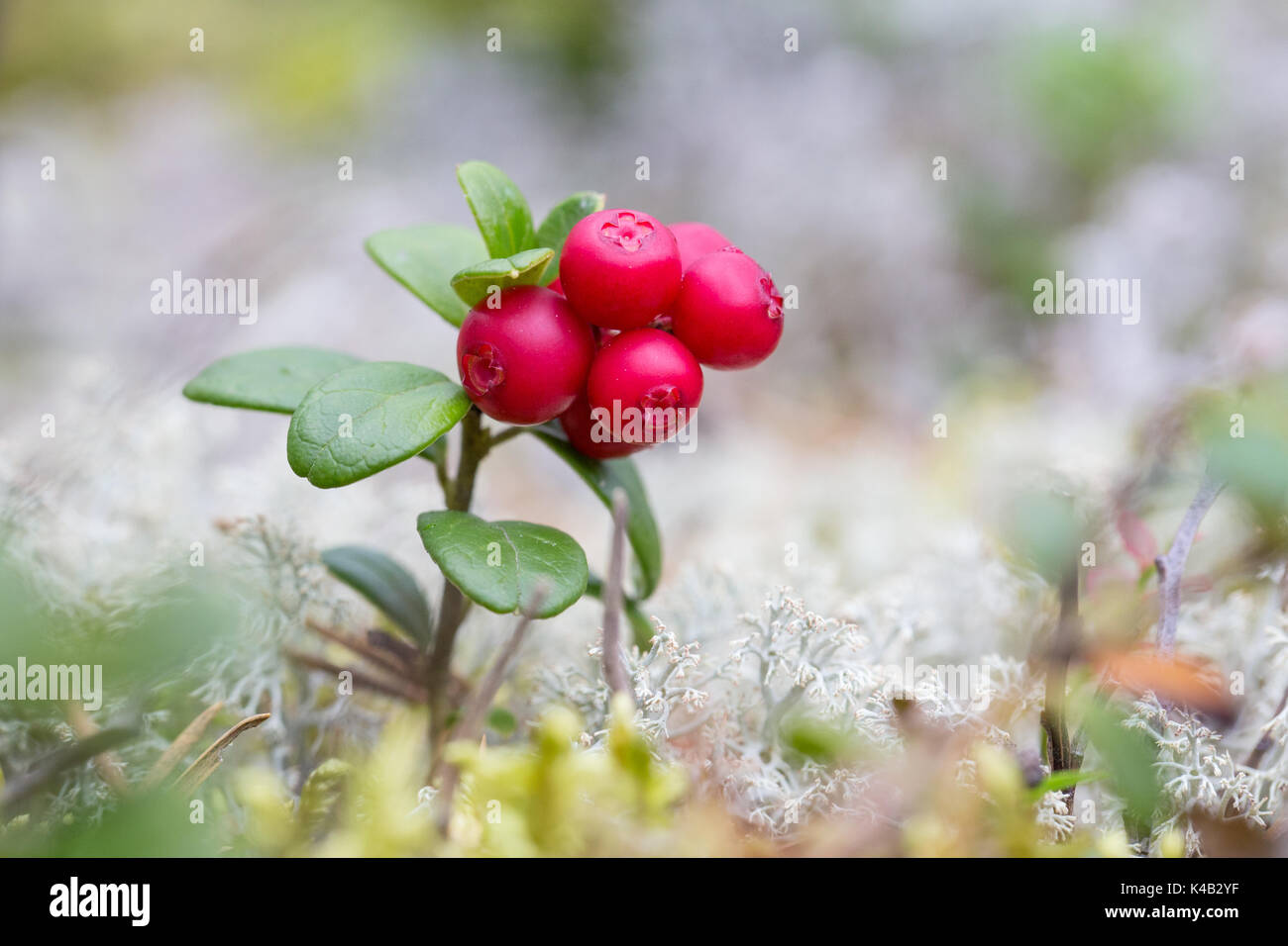 Lingonberry Stock Photo