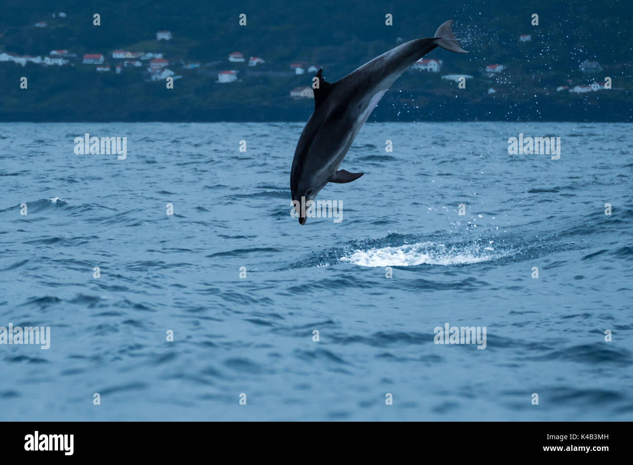 A bottlenose dolphin leaping from the water off Lajes do Pico, premier whale watching destination in the Azores. - Stock Image