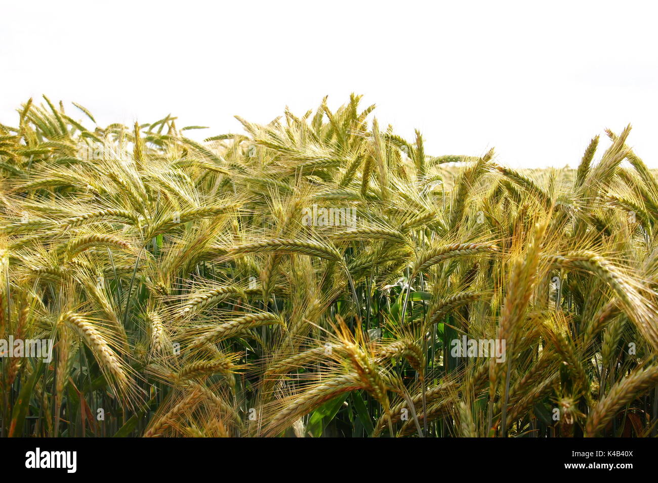 Yellow Green Rye In Summer Shortly Before The Maturity - Stock Image